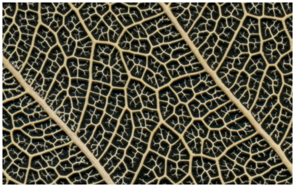 leaf venation pattern